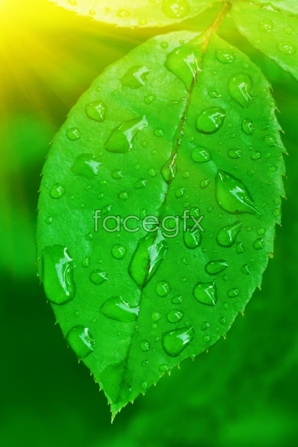 HD-green leaves picture