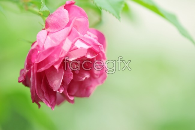 HD rose photography