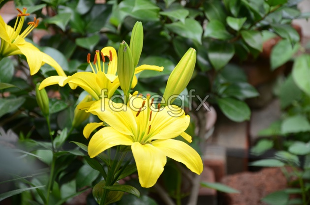 Hi-def yellow lilies pictures
