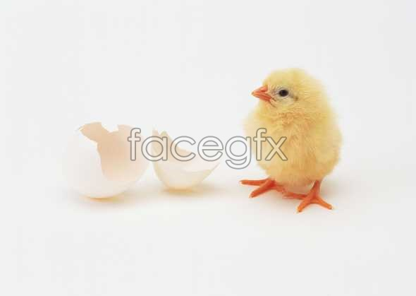 Just hatched chick
