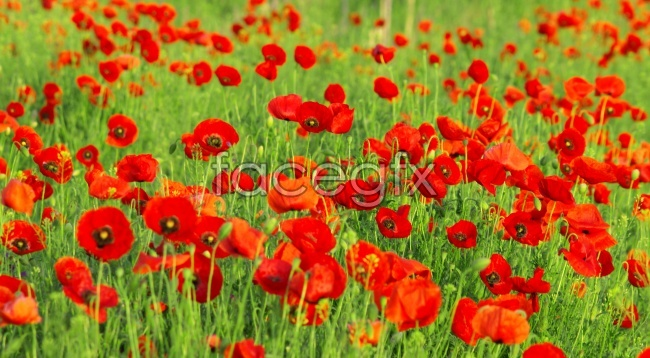 Flamboyant poppies picture