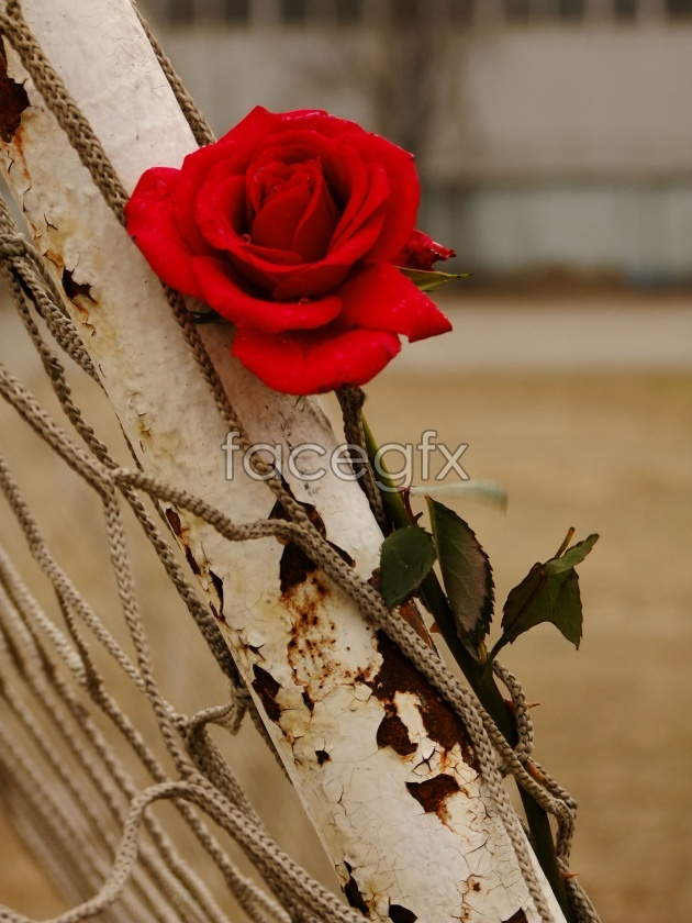 HD non-mainstream roses pictures