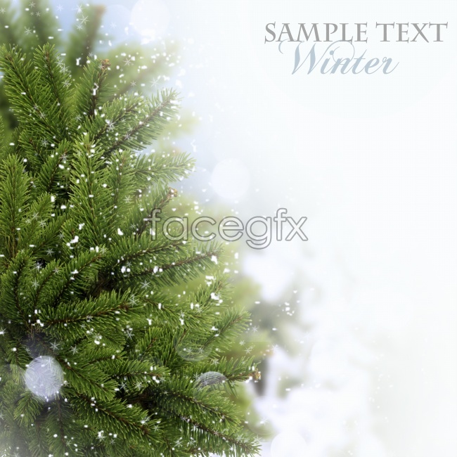 Real green Christmas trees background pictures