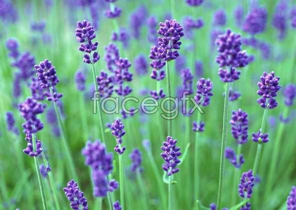 Thousand flower 608