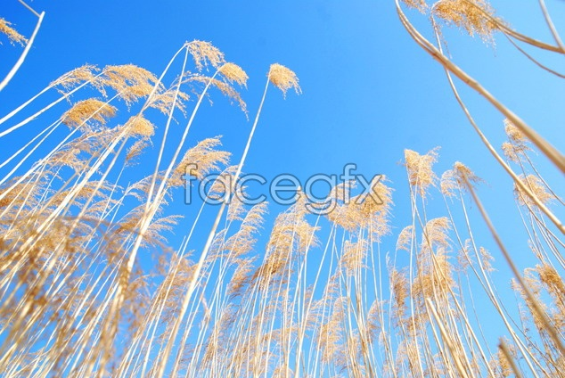 Reed sky scenery picture