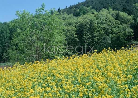 Thousand flower 518