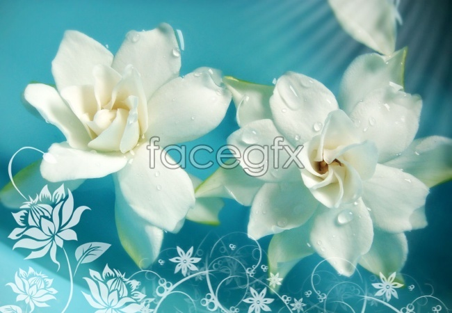 White water lily pictures