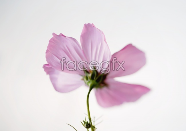 Gesang flower picture