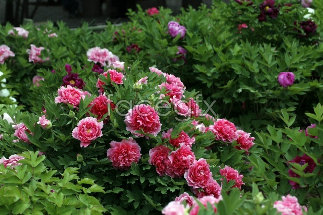 HD red Peony pictures