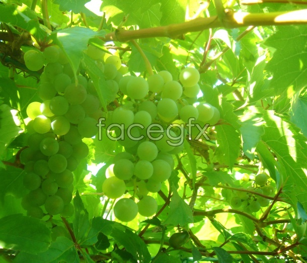 High definition grape picture material