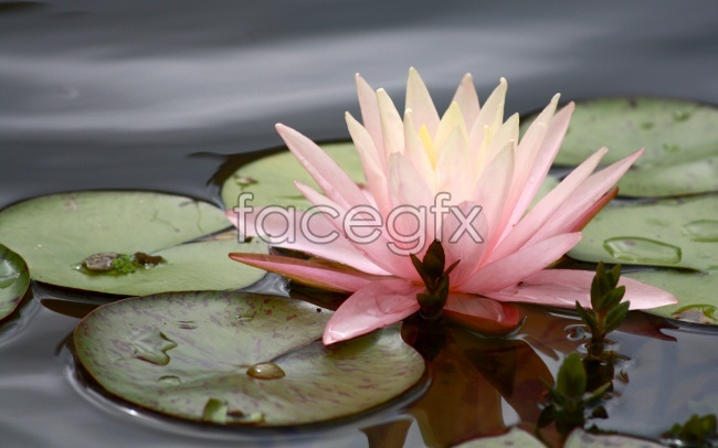 Pond, beautiful Lotus pictures