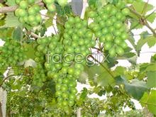 Grape fruit material picture