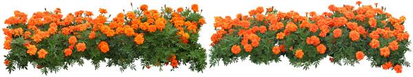 Garden Orange chrysanthemum flowers and PSD