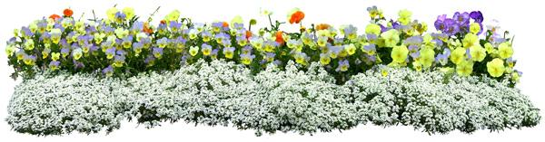 Ornamental plants and flowers, chrysanthemums PSD