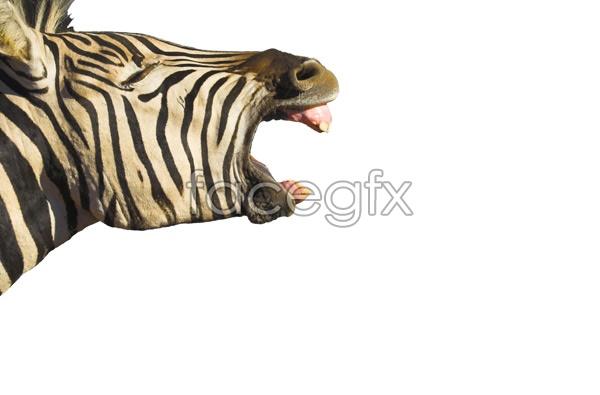 Zebra picture PSD