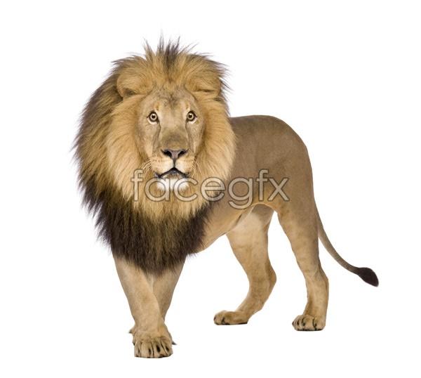 Lion picture PSD