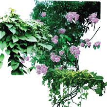 Rattan plants psd3