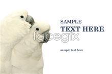 White parrots PSD